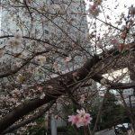 大崎 彼岸桜2016冬