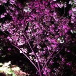 品プリ八重桜